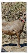 Desert Bighorn Sheep Ewe With Radio Bath Towel