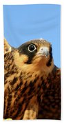 Eurasian Hobby Falco Subbuteo In Bath Towel