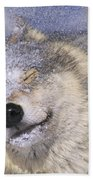 Gray Wolf Canis Lupus Shaking Snow Off Bath Towel