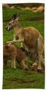 Kangaroo Nursing Its Joey Bath Towel
