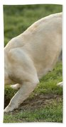 Labrador Checking Hole Bath Towel