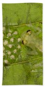 Male Reticulated Glass Frog  Guarding Bath Towel
