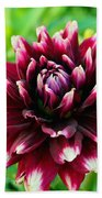 Maroon And White Dahlia Flower In The Garden Bath Towel