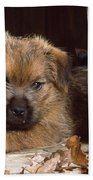 Norfolk Terrier Puppy By Barn Door Bath Towel