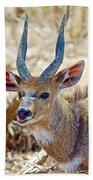 Portrait Of A Bushbuck In Kruger National Park-south Africa  Bath Towel