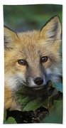 Red Fox Vulpes Vulpes, Gros Morne Bath Towel