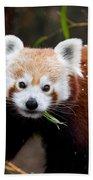 Red Panda  Ailurus Fulgens Eating Bath Towel