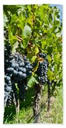 Ripe Grapes Right Before Harvest In The Summer Sun Bath Towel