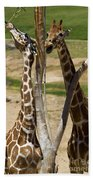 Two Reticulated Giraffes - Giraffa Camelopardalis Bath Towel