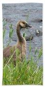 Young Canadian Goose Bath Towel