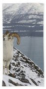 Dall Sheep Ovis Dalli Ram, Yukon Bath Towel