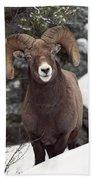 Bighorn Sheep, Maligne Canyon, Jasper Bath Towel