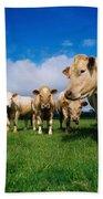 Cattle, Charolais Bath Towel