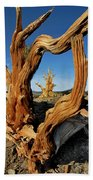 Looking Through A Bristlecone Pine Bath Towel