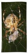 Marbled Orb Weaver Spider Eating Bath Towel