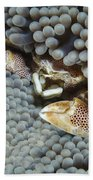 Red-spotted Porcelain Crab Hiding Bath Towel