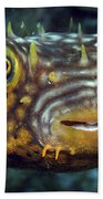 Striped Burrfish On Caribbean Reef Bath Towel