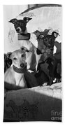 Italian Greyhounds In Black And White Bath Towel
