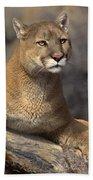 Mountain Lion Felis Concolor Bath Towel