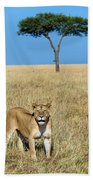 African Lioness Panthera Leo, Serengeti Bath Towel