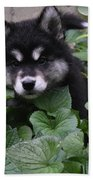 Adorable Alusky Puppy Hiding In A Garden Bath Towel