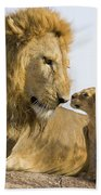 African Lion Panthera Leo Seven Hand Towel