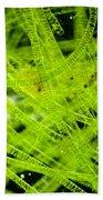 Algae Spirogyra Sp., Lm Bath Towel