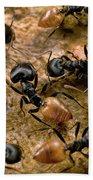 Ant Crematogaster Sp Group Bath Towel