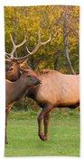 Bull And Cow Elk - Rutting Season Bath Towel
