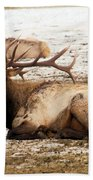 Bull Elk Calls Out Bath Towel