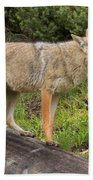 Coyote On A Log Closeup Bath Towel