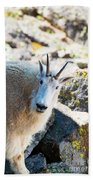 Curious Goat On The Mount Massive Summit Bath Towel