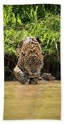 Jaguar Walking Through Muddy Shallows Towards Camera Bath Towel