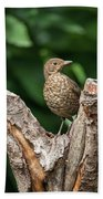Juvenile Black Bird Turdus Merula Fledgling In Tree Stump In For Bath Towel