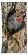 Northern Flicker Pokes His Head Out Bath Towel