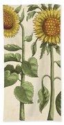 Sunflowers Illustration From Florilegium Bath Towel