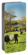 Belted Galloway Cows Grazing On Grass In Rockport Farm Fall Main Portable Battery Charger