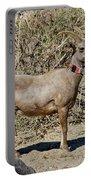 Desert Bighorn Sheep Ewe With Radio Portable Battery Charger