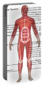 Muscular System In Male Anatomy Portable Battery Charger