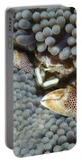 Red-spotted Porcelain Crab Hiding Portable Battery Charger