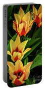 Beautiful Bicolor Tulips Portable Battery Charger