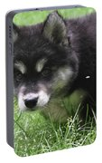 Beautiful Furry Black And White Alusky Only Two Months Old  Portable Battery Charger