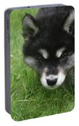 Curiousity Filled Look In The Face Of An Alusky Portable Battery Charger