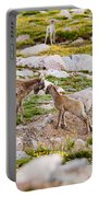 Practicing Baby Bighorn Sheep On Mount Evans Colorado Portable Battery Charger