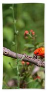 Berry Eating  Scarlet Tanager Beach Towel