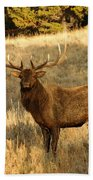 A Bull Elk In Rut Beach Towel