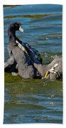 American Coots Fighting Beach Towel