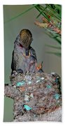 Annas Hummingbird Feeding Young Beach Towel
