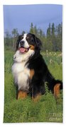 Bernese Mountain Dog Beach Towel