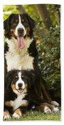 Bernese Mountain Dogs Beach Towel